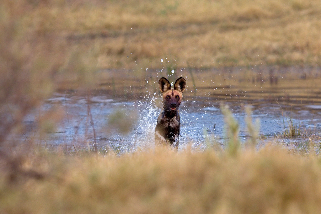 African wild dog racing to join the rest of the pack at an impala kill<br /> Savuti Channel, Botswana